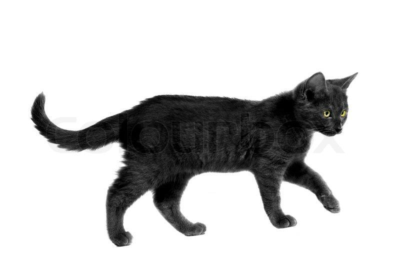 Black Cat With Yellow Eyes Walking On White Stock Photo