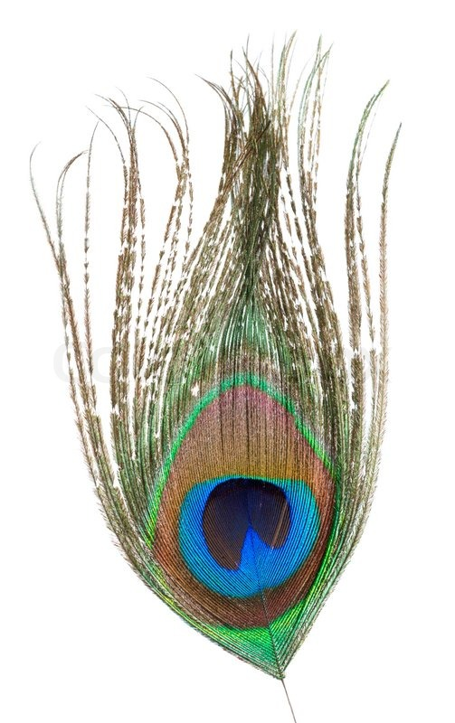 Peacock feather isolated on a white background | Stock ...