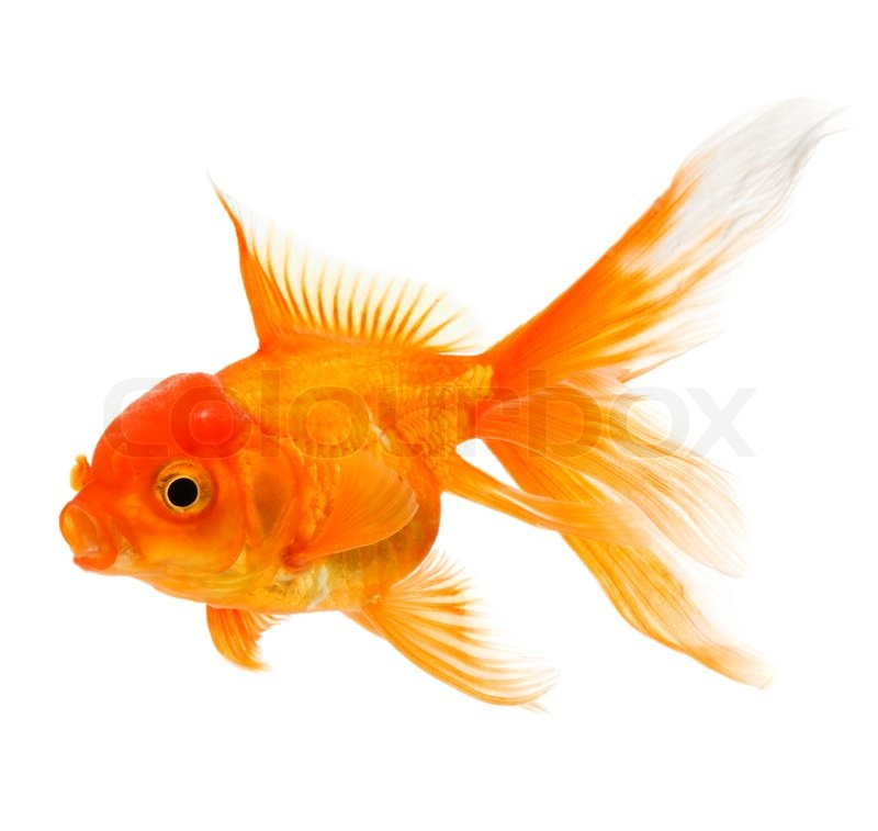 Gold fish isolated on white background stock photo for Aquarium 30l combien de poisson rouge