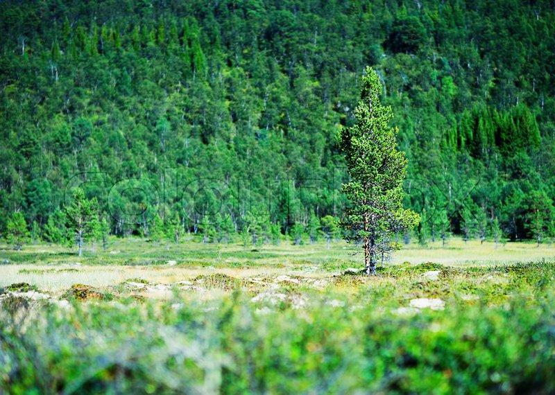 Fir tree single object bokeh background hd, stock photo