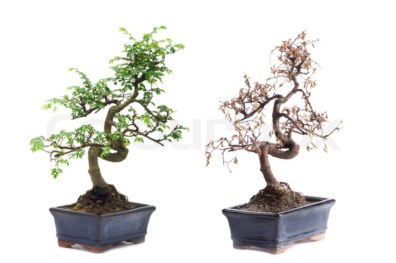 gr n und tod bonsai baum auf wei em hintergrund stock. Black Bedroom Furniture Sets. Home Design Ideas