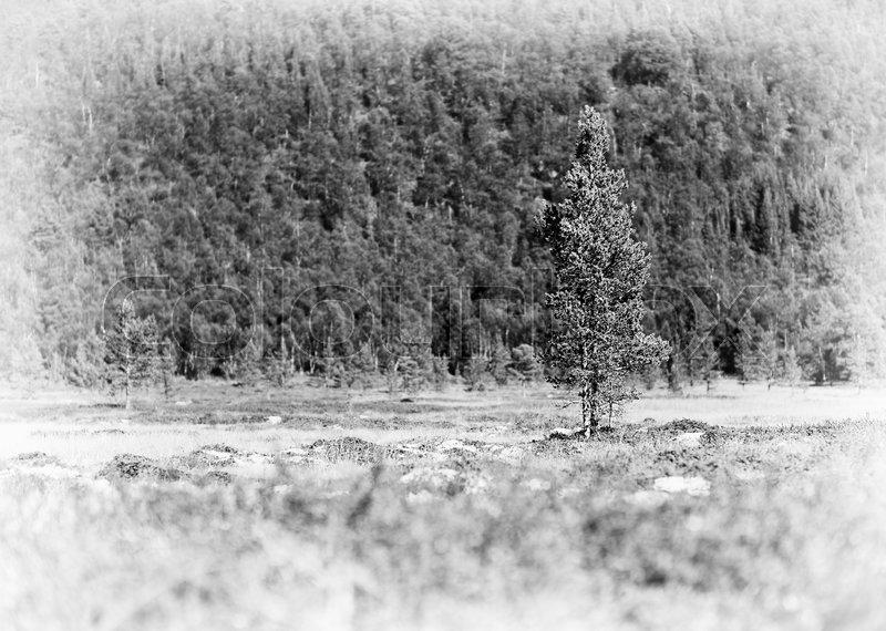 Fir tree single object vignette background hd, stock photo