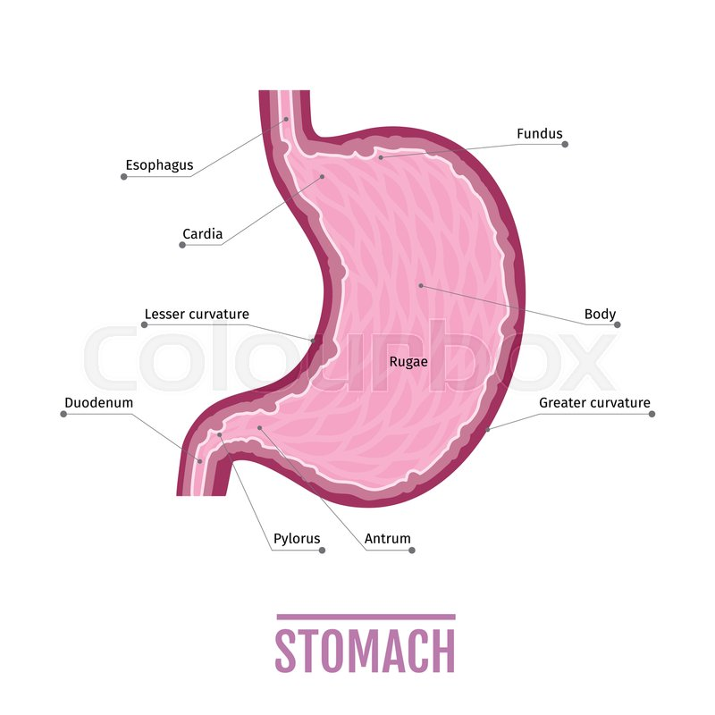 Medical illustration of the human stomach. scheme for textbooks ...
