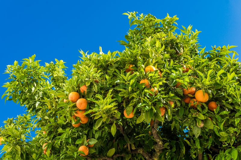 Tangerine tree. Oranges on a citrus tree. clementines ripening on tree against blue sky, stock photo