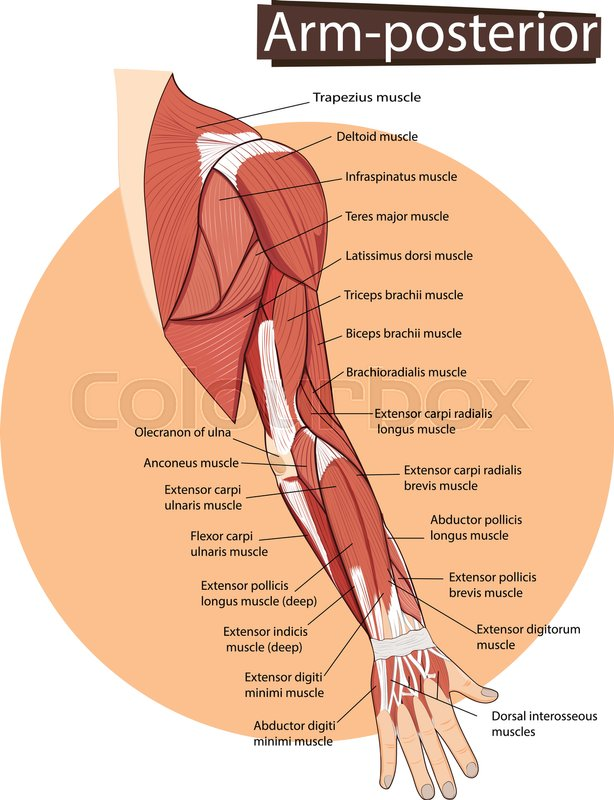 Anatomie, mensch, tief | Vektorgrafik | Colourbox