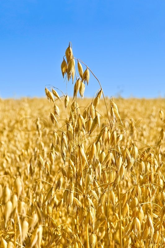 Golden Stalk Of Oats On The Background Field And Blue Sky