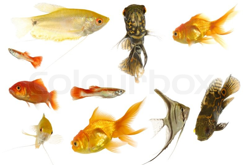 Many different aquarium fish isolated on white background for Where can i buy fish to stock my pond