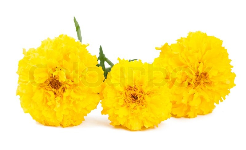 Yellow marigold flower isolated on white stock photo colourbox mightylinksfo