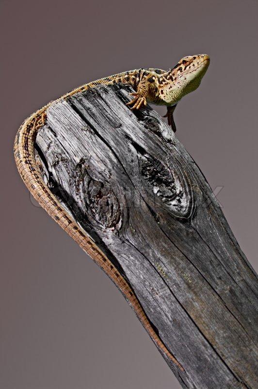 Reptile animal on tree grey colour, stock photo