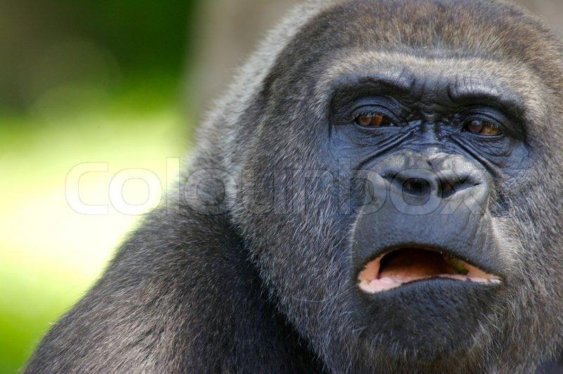 gorillas fighting gorillas gorillas fighting with lightsabersGorillas Fighting With Lightsabers