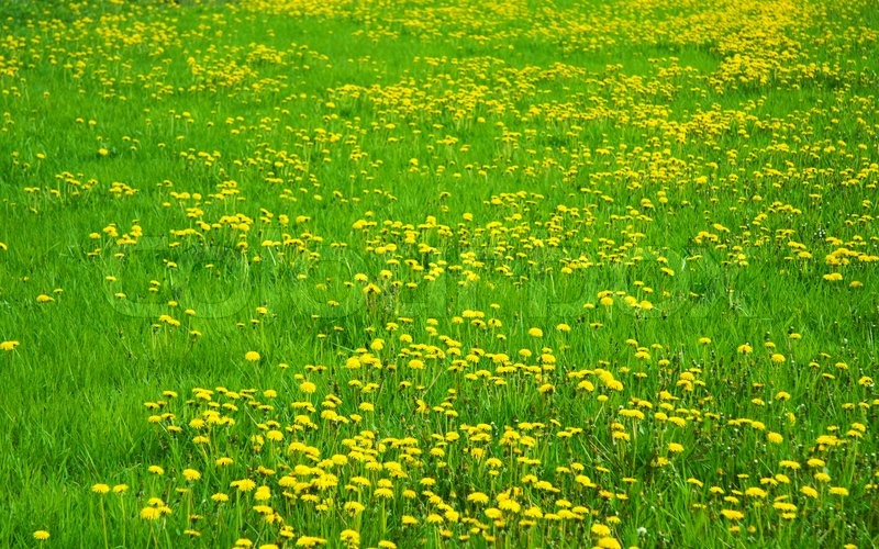 Stock image of 'Green grass with yellow dandelions'