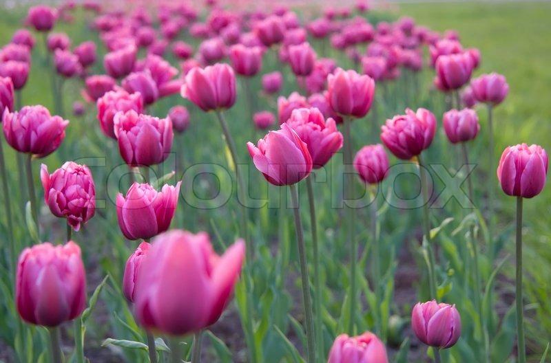 lila tulpen auf dem blumenbeet stockfoto colourbox. Black Bedroom Furniture Sets. Home Design Ideas