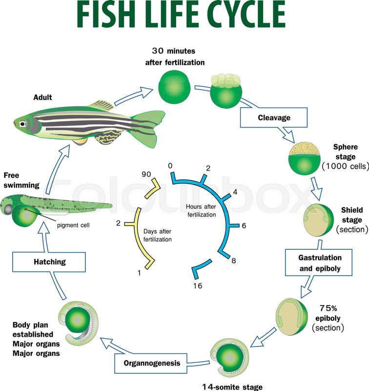 Vector Illustration Of Fish Life Cycle Stock Vector Colourbox