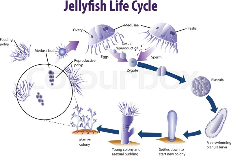 Vector Illustration Of Jelly Fish Life Cycle Stock Vector Colourbox