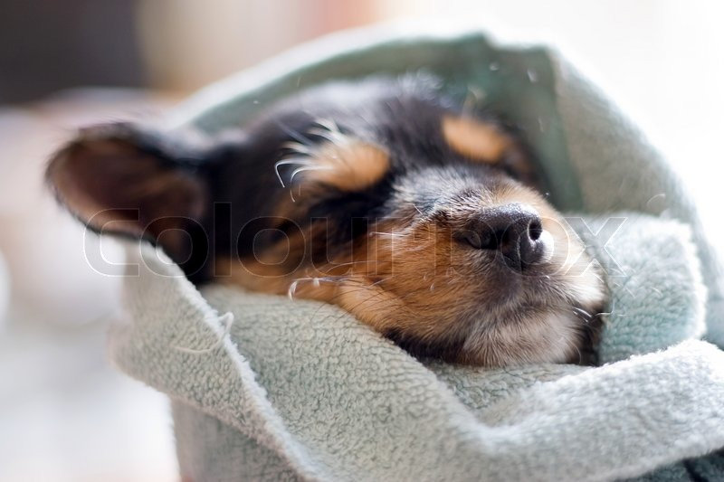 A An Adorable Puppy All Wrapped Up In A Blanket Stock Photo