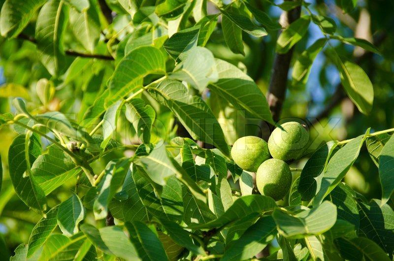 Baum Mit Grünen Früchten