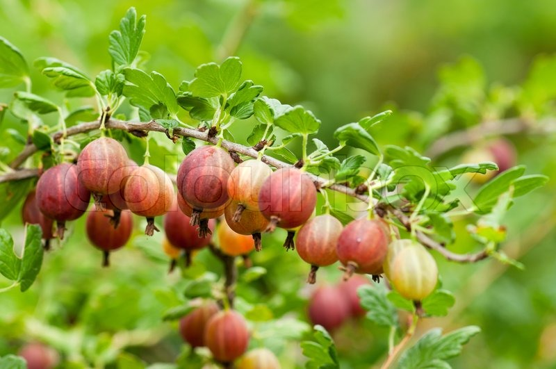 Some ripening gooseberries on the branch in a kitchen garden, stock photo