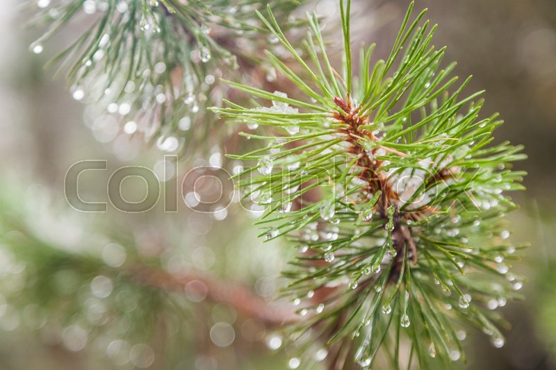 Fir tree branch with water droplets, close-up. Beautiful natural background and texture, stock photo