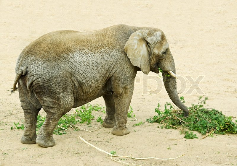 Afrikanischen Elefanten essen Kiefer brunch   Stockfoto   Colourbox