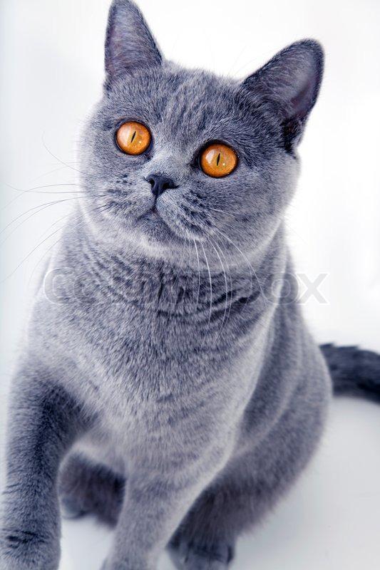 Beautiful Grey British Cat On Light Background Stock