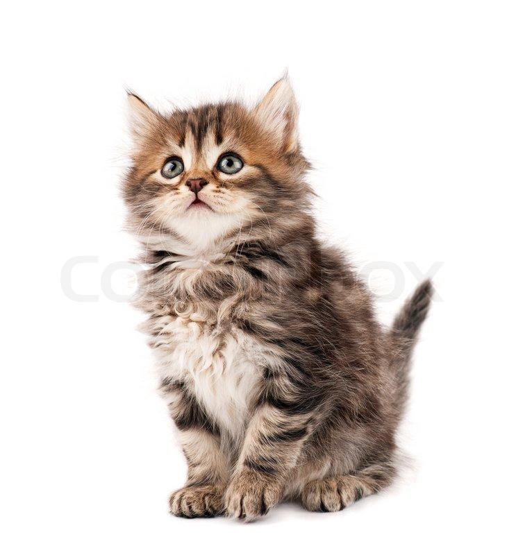 Stock Bild von 'Nette kleine sibirische Katze isoliert auf weißem Hintergrund'