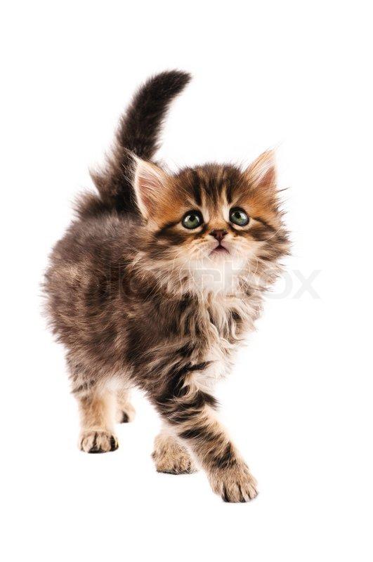 nette kleine sibirische katze isoliert auf wei em hintergrund stockfoto colourbox. Black Bedroom Furniture Sets. Home Design Ideas
