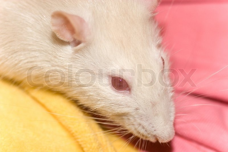 Prenatal sex determination in albino rat