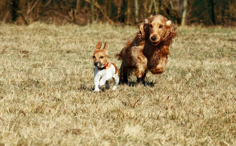 Puppy of jack russel terrier and cocker spaniel running in
