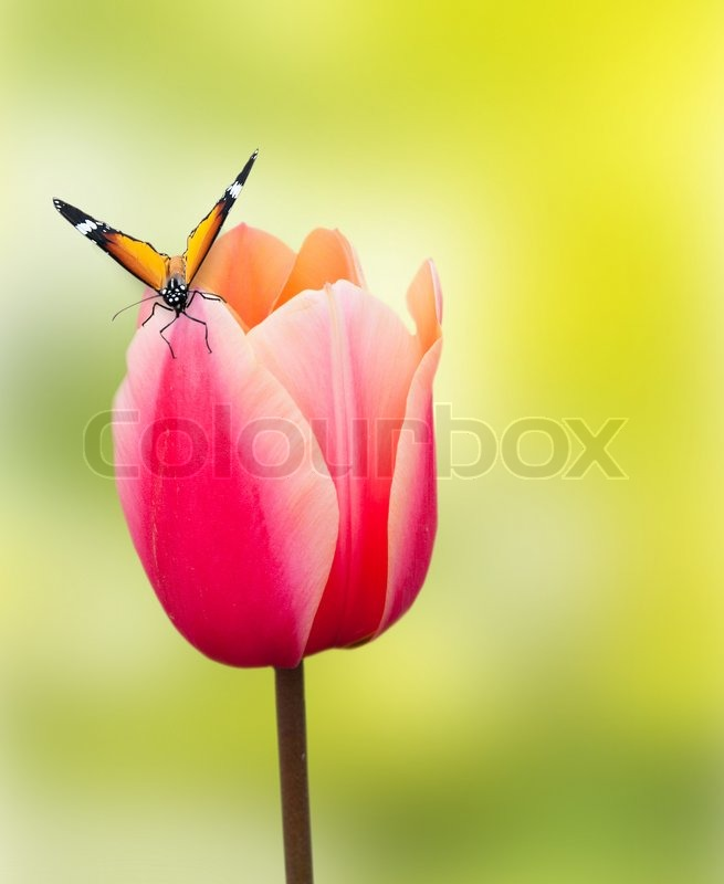 butterfly on sch ne rosa tulpe auf hellem hintergrund stockfoto colourbox. Black Bedroom Furniture Sets. Home Design Ideas