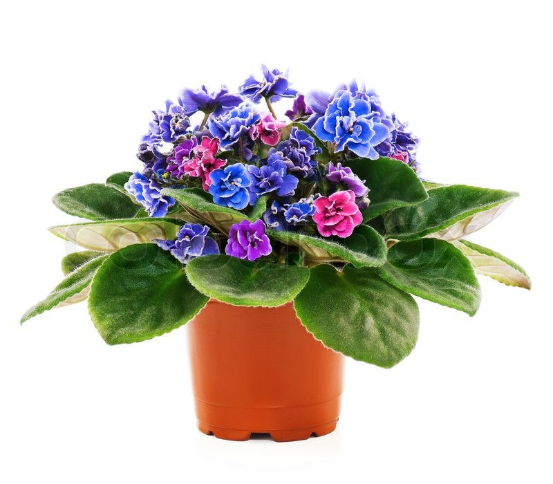 Blossoming violets in flower pot isolated on white