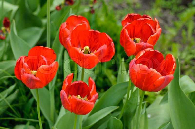 Flower tulips background. Beautiful view of red tulips macro, stock photo