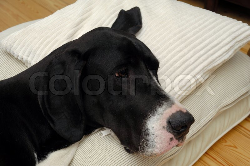 Stock image of 'Great Dane dog is resting on a pillow'
