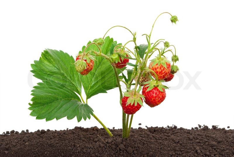 Strawberry Growing Out Of The Soil Stock Photo Colourbox