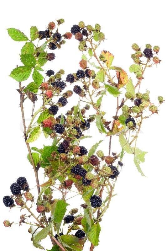 blackberry bush with berries isolated stock photo