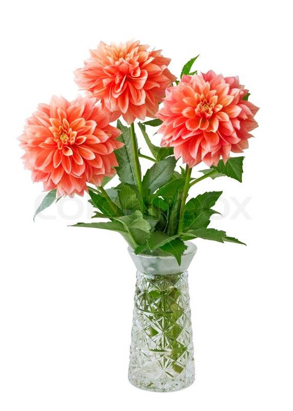 Three red dahlias in the vase isolated on white stock