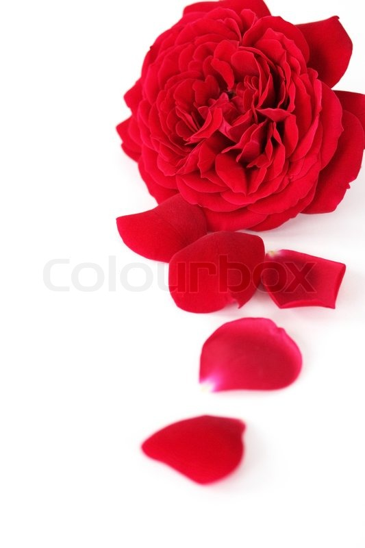 Red Rose And Petals On The White Background Stock Photo
