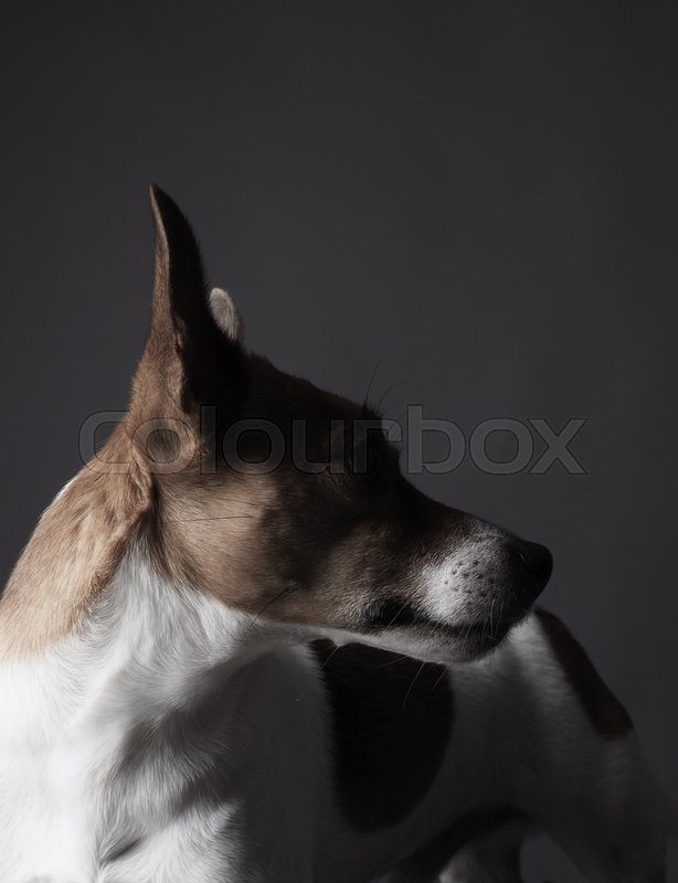 Studio shot of a cute Jack Russell Terrier, stock photo