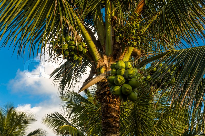 Coconut palm tree on the beach and a cloudy blue sky, stock photo