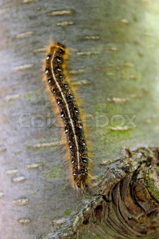 Stock image of 'A closeup of a caterpillar climbing up the side of a tree'