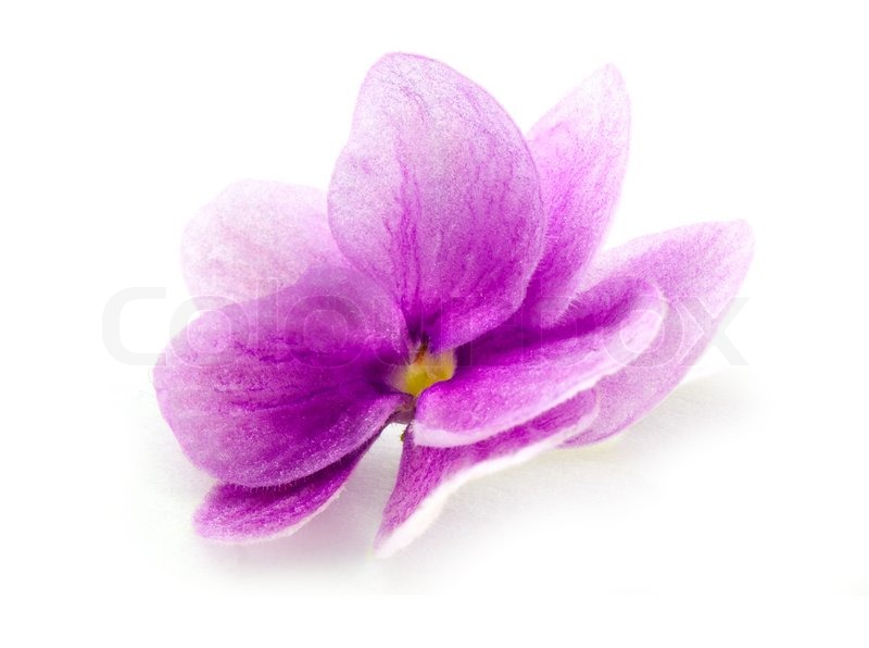 Violet Flower Isolated On White | Stock Photo | Colourbox