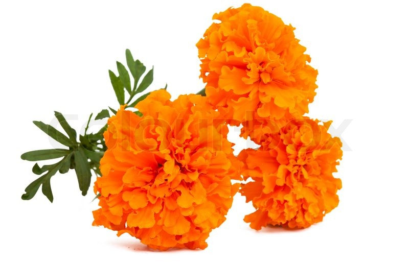 Marigold flower on a white background stock photo colourbox mightylinksfo