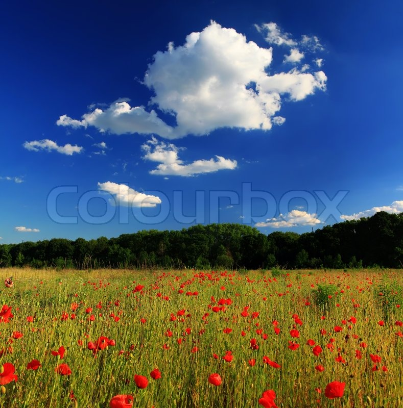 Stock image of 'Poppy on the field at summer day'
