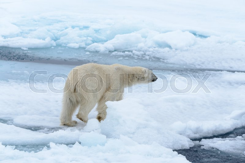 Polar bear on the pack ice north of Spitsbergen, stock photo