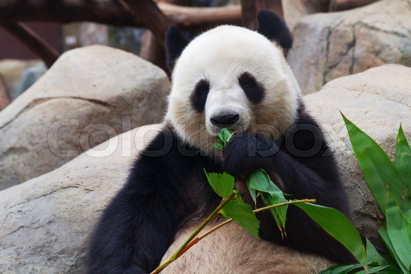 gro er panda b r essen bambus bl tter stock foto colourbox. Black Bedroom Furniture Sets. Home Design Ideas