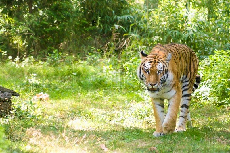 Tiger Bilder Stock Fotos Colourbox