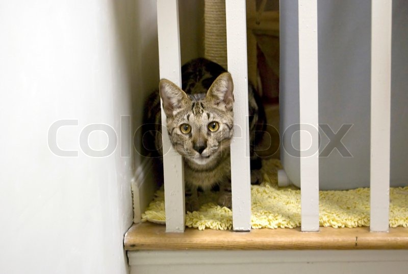 A Shot Of A Highly Rare Savannah Cat Staring Cautiously From Behind The  Stairway Rails This Is A Very Expensive Cat Breed Due To Their Large  Nature, ...