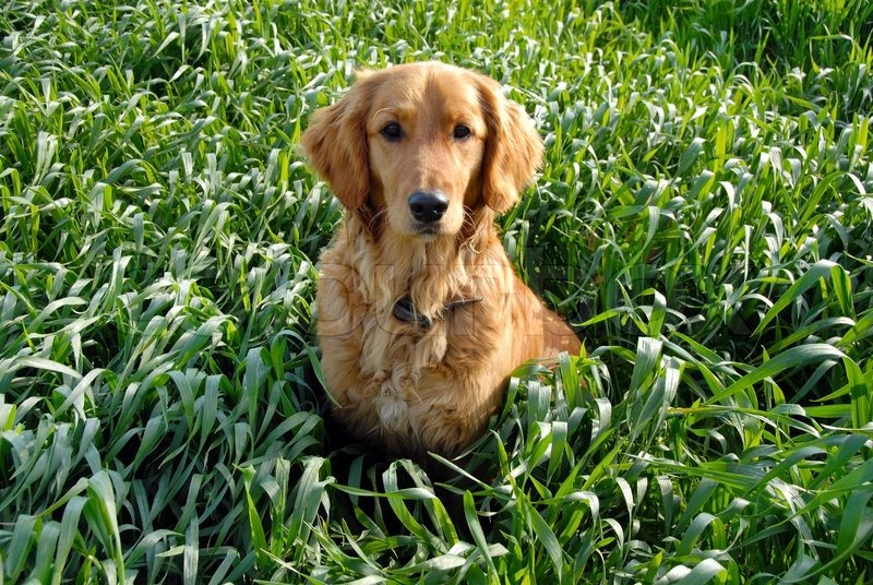 Why Dogs Eat Grass After Vomiting