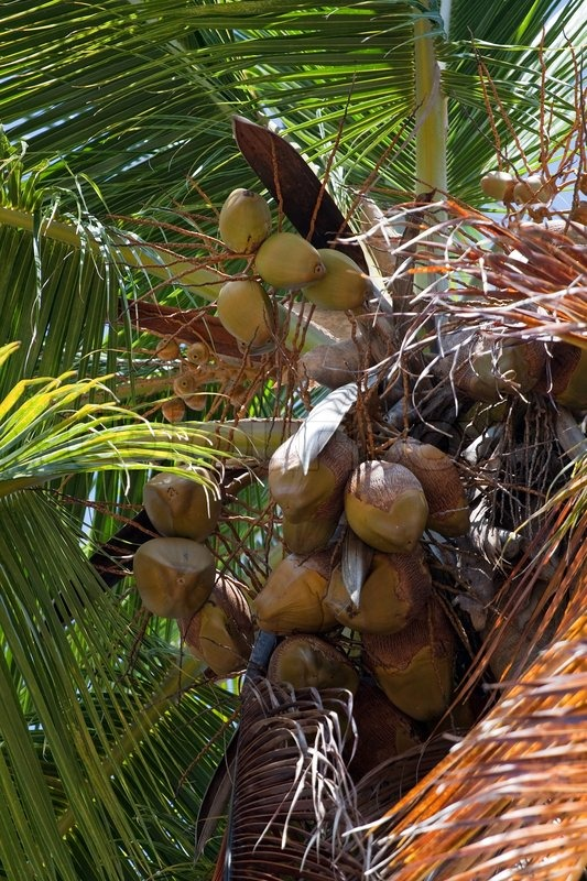 Close Up Detail Of A Tropical Coconut Palm Tree Variety