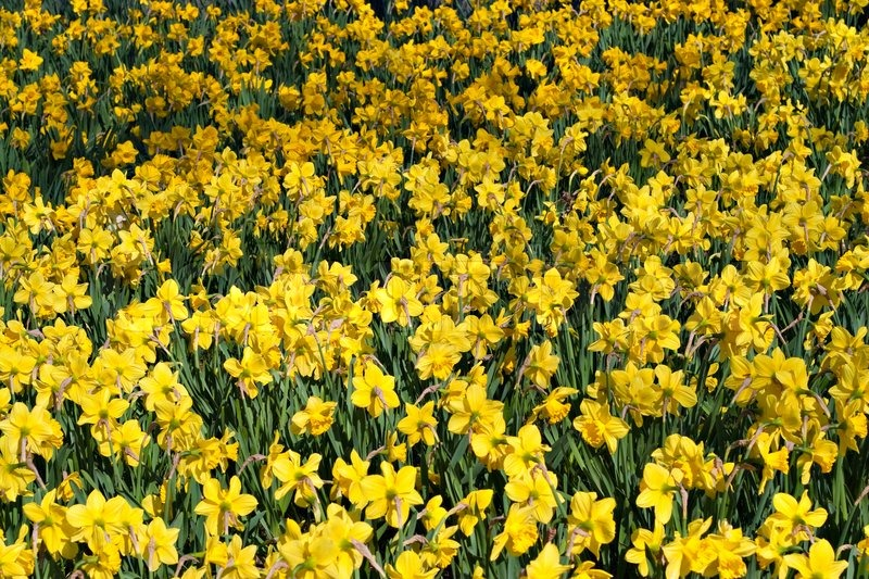 A field of bright yellow spring daffodil flowers stock photo a field of bright yellow spring daffodil flowers stock photo colourbox mightylinksfo