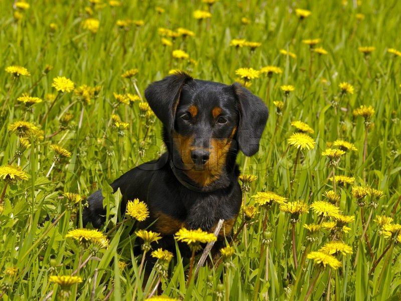 den lille hund sidder blandt de gule blomster stock foto colourbox. Black Bedroom Furniture Sets. Home Design Ideas